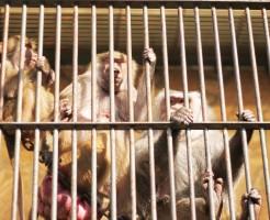 檻の中の猿